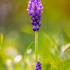 Grape Hyacinth, Wildflower.<br /> <br /> Shot several portraits in landscape orientation at f/2.8 to get the shallow DOF and details of the tiny grape like blooms.  Quite a bit of processing was done, but I also used the auto align and auto blend in PS -- which helped alot.  I liked the way the young little one stood with the tall one together.