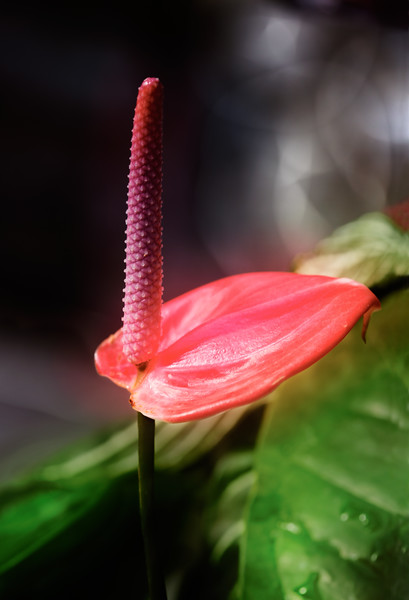 """Flamingo Flower   Misty Rose (Anthurium)<br /> Another name would be """"Boy Flower""""<br /> :-) Seriously."""