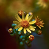 Golden Ragwort -- Packera aurea (formerly called Senecio aureus)