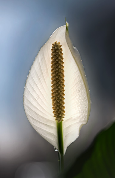 Pay it Forward Peace Lily