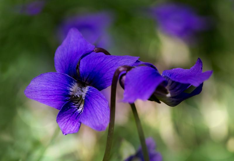 Tiny Purple Violets