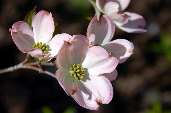 Dogwood Beauty Flowers