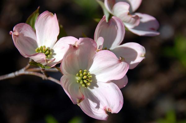 Dogwood Beauty Flowers