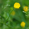 Buttercups - Colonial Park, Somerset, NJ