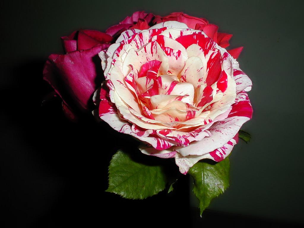 Sammy's Rose