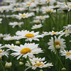 Daisies - Colonial Park, Somerset, NJ