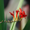 Crocosmia - Crocosmia X 'Lucifer' Iridaceae - Colonial Park, Somerset, NJ - small genus of perennial species in the iris family Iridaceae, native to grasslands in the Cape region (South Africa).