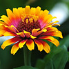 Zinnia - 'Zowie! Yellow Flame'
