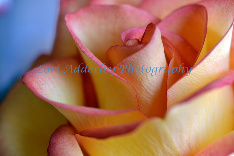 Peachy Rose: The elegantly folded petals of a  rose