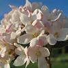 Burkwood Viburnum VIBURNUM X BURKWOODII 'Mohawk' Caprifoliaceae<br /> Colonial Park - Somerset, NJ