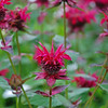 "Beebalm - Monarda Didyma ""Colrain Red' Lamiaceae - Colonial Park, Somerset, NJ"