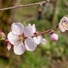 Cherry tree blossom
