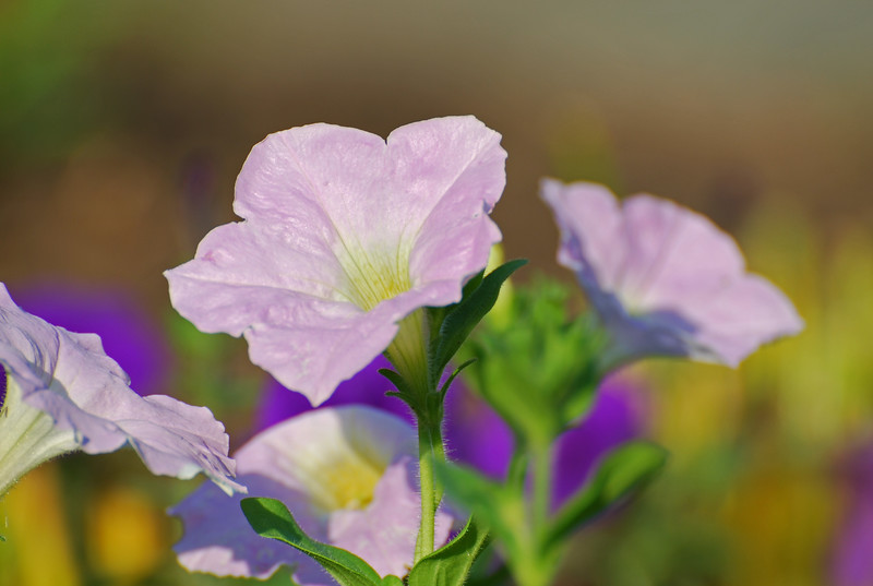 Petunias<br /> Colonial Park, Somerset, NJ