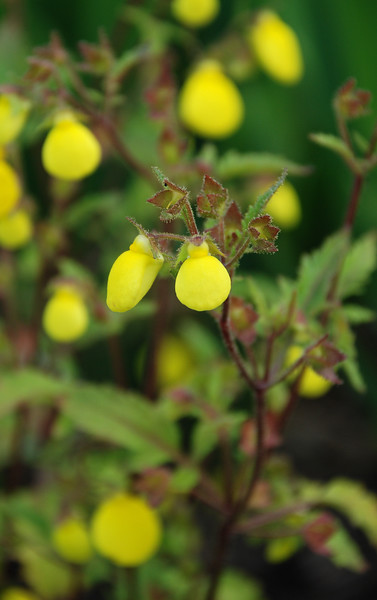Yellow Pocketbook Plant (Calceolaria Mexicana)<br /> Colonial Park, Somerset, NJ