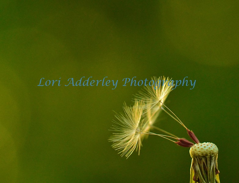 Dance of the Dandelion: Gracefully balancing dandelion seeds