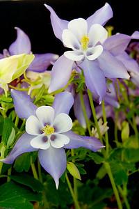 Columbines, Highlands Ranch, CO, 0160