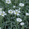 Snow in Summer (Cerastium Tomentosum)<br /> Colonial Park, Somerset, NJ