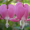 Bleeding Heart 'spectabilis'