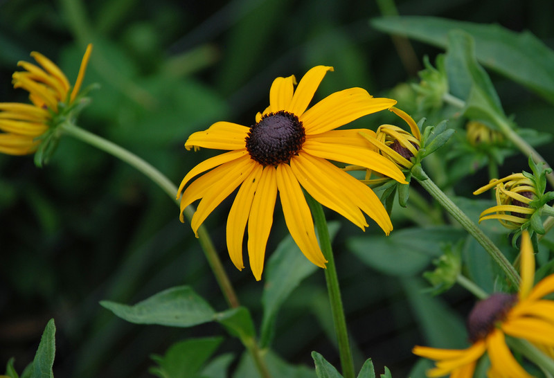 "Black-eyed Susan, Rudbeckia Fulgida,  Goldstrurm - Colonial Park ""Somerset NJ"