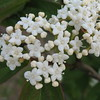 Viburnum Setigerum - Tea Viburnum<br /> Colonial Park, Somerset, NJ