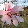 Saucer Magnolia (Magnolia X. Loebneri 'Leonard Messel' Magnoliaceae), Colonial Park, Somerset, NJ