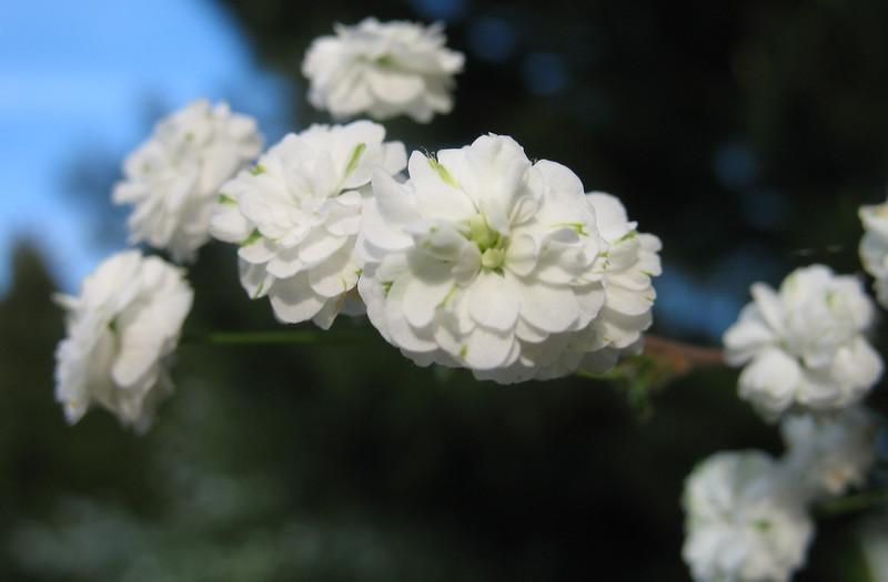 Bridalwreath Spirea 'Plena'(Spirea Prunifolia)<br /> Colonial Park, Somerset, NJ