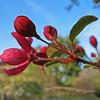 Flowering Crabapple Tree - Colonial Park Somerset, NJ