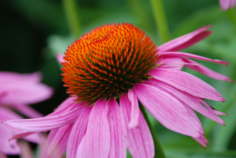 Echinacea - Colonial Park, Somerset, NJ - <br /> <br /> Echinacea, the purple coneflower, is the best known and researched herb for stimulating the immune system. Thousands of Europeans and Americans use echinacea preparations against colds and flu, minor infections, and a host of other major and minor ailments. This native American herb has an impressive record of laboratory and clinical research. Thousands of doctors currently use echinacea for treating infectious diseases.