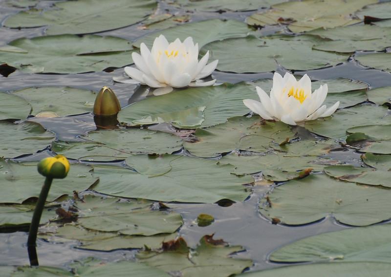 Lily Pads, Lake George, NY