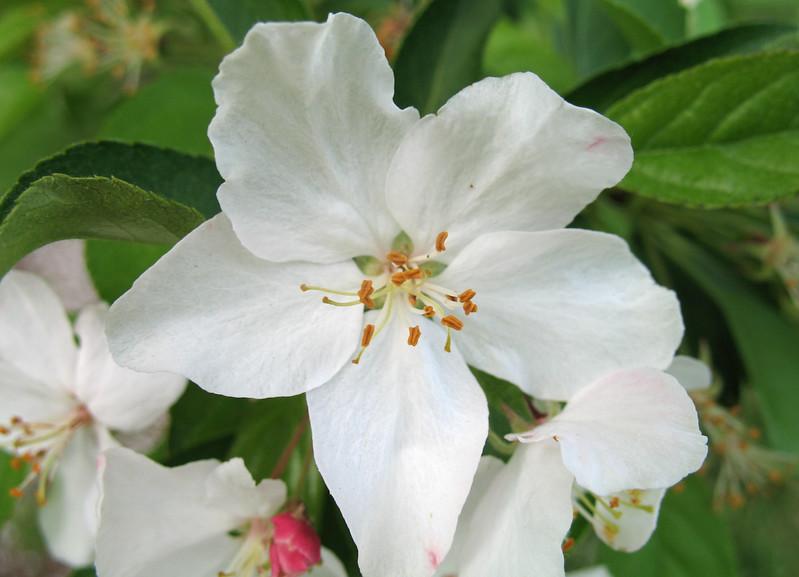 Sugar Tyme Crabapple 'Sutyzam' (Malus) Roseaceae Cultivar<br /> Colonial Park, Somerset, NJ