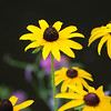 Black-Eyed Susans, Lake George, NY