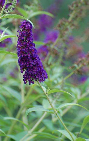 "BUTTERFLY BUSH Buddleia davidii (lilac with orange ""eye"")<br /> Loganiaceae, Strychnine Family (or Buddlejaceae, Buddleia Family) - Colonial Park, Somerset, NJ"