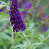 "BUTTERFLY BUSH Buddleia davidii (lilac with orange ""eye"")<br /> Loganiaceae, Strychnine Family (or Buddlejaceae, Buddleia Family) - Colonial Park, Somerset, NJ"