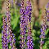 Salvia Nemorosa - 'Ostfrieslans' - East Friesland - Hybrid Sage (and bumble bee)