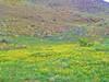 Wild flowers in Lake Elsinore - 2