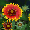 Indian Blanket/Fire Wheel - Gaillardia pulchella (Asteraceae)<br /> Adventure Aquarium, Camden, NJ