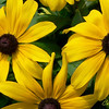Flowers (8)cc