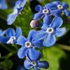 Brunnera Macrophylla 'Variegata' - Variegated Siberian Bugloss