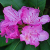 Rhododendron<br /> Colonial Park, Somerset, NJ