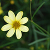 Tickseed Coreopsis X. Verticillata 'Moonbeam' - Colonial Park, Somerset, NJ