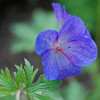 Geranium 'Johnson's Blue' Cranesbill<br /> Colonial Park, Somerset, NJ