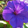 Petunia<br /> Colonial Park, Somerset, NJ