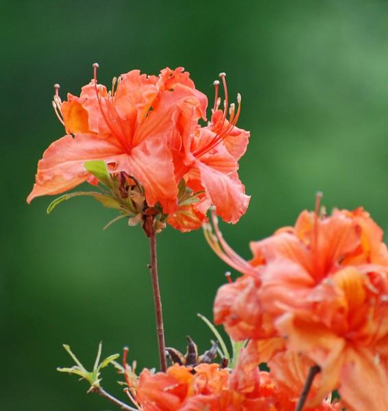 Orange Azalea<br /> Colonial Park, Somerset, NJ