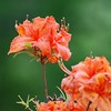 Orange Azalea<br /> Colonial Park, Somerset, NJ