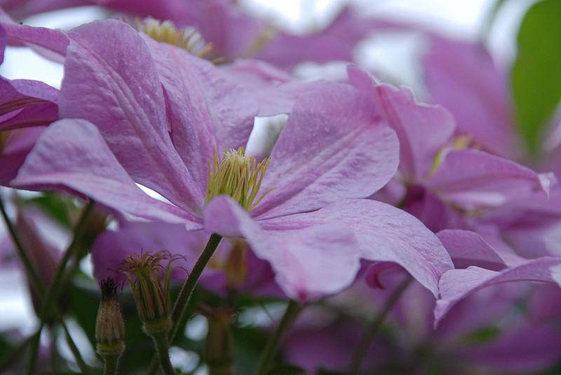 Clematis - Clematis X Jackmanii - 'Jackmanii' Rananculaceae - Colonial Park, Somerset, NJ