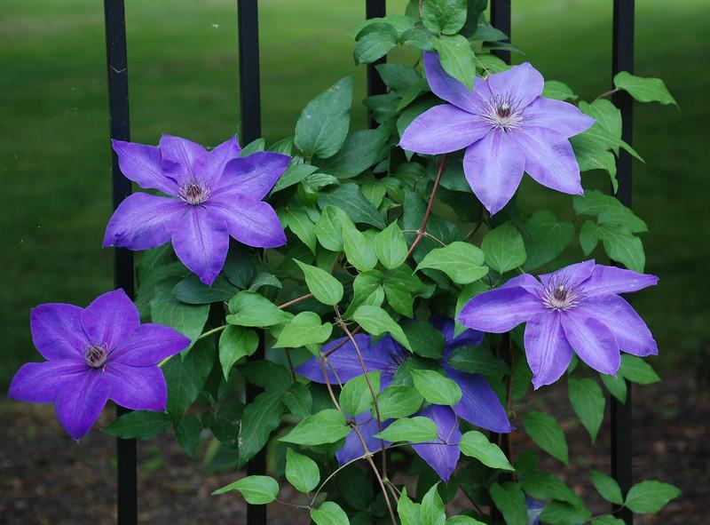 Purple Clematis<br /> Colonial Park, Somerset, NJ