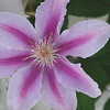 Sugar Candy Clematis<br /> Colonial Park, Somerset, NJ