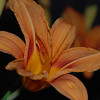 Day Lily in my backyard