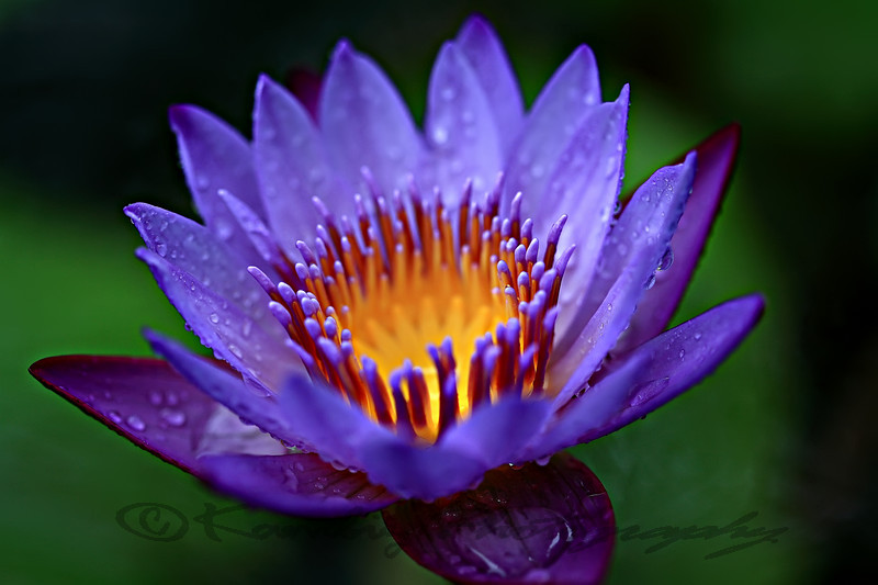 Water lily - Nymphaeaceae - Lotus flower