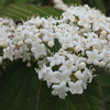 Viburnum Setigerum - Tea Viburnum<br /> Colonial Park, Somerset, NJ